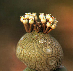 http://aztekium.narod.ru/succulents/photos/thumbnails/pseudolith5m.jpg